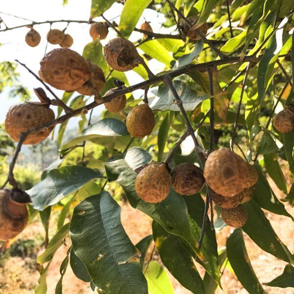Cocoon sæbebær
